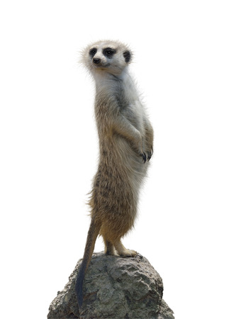 Meerkat Isolated On White Background Archivio Fotografico