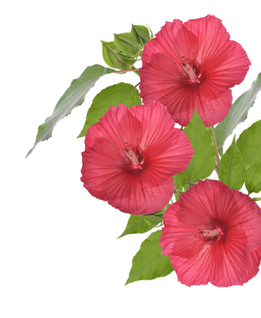 Red Hibiscus Flowers Isolated On White Background