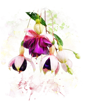 Watercolor Digital Painting Of  Pink And Purple Fuchsia Flowers  Stock Photo