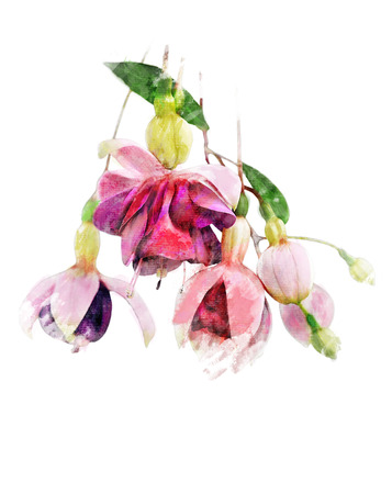 Watercolor Digital Painting Of  Pink And Purple Fuchsia Flowers