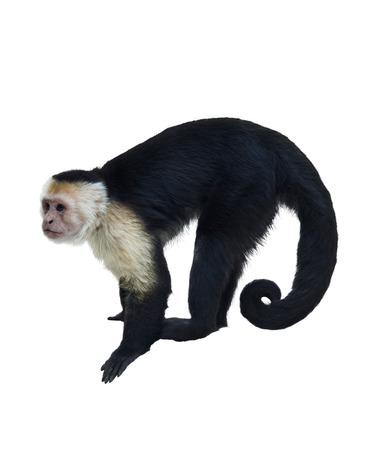 화이트 throated 큰 카푸 친 원숭이 흰색 배경에 고립