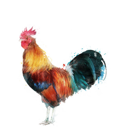 Watercolor Digital Painting Of Rooster 版權商用圖片