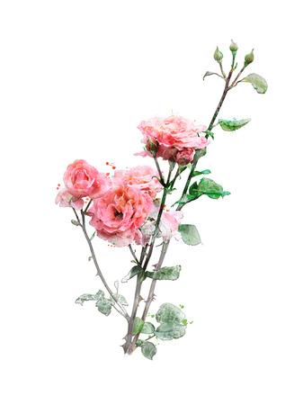 rose: Watercolor Digital Painting Of Rose Branch