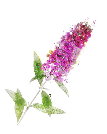 Watercolor Digital Painting Of Buddleja Branch (Butterfly Bush) Reklamní fotografie - 32508230