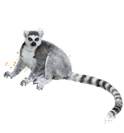 lemur: Watercolor Digital Painting Of Ring-tailed Lemur Stock Photo