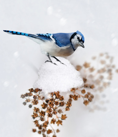 perch dried: Digital Painting Of Blue Jay In Winter Stock Photo