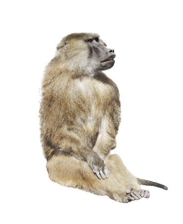 watercolour: Digital Painting Of Baboon Monkey Stock Photo
