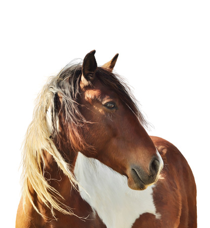 digital paint: Digital Painting Of Paint Horse  On White Background