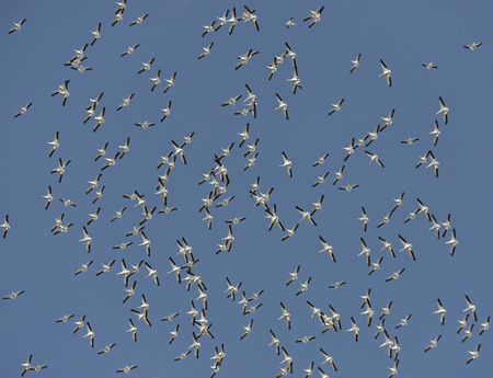 Flock of American White Pelicans Flying in a Blue Sky photo