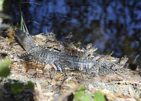 alligators: Baby Alligators Basking In Florida Wetlands