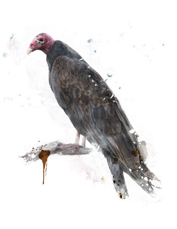 turkey vulture: Digital Painting Of Turkey Vulture Perching Stock Photo