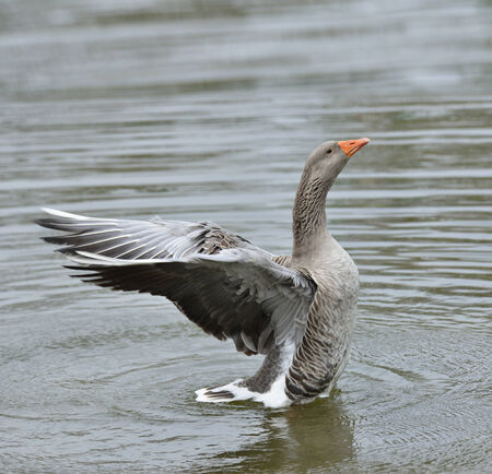 flapping: Gray Goose Flapping Wings In The Water
