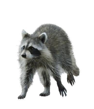 Digital Painting Of Walking Raccoon
