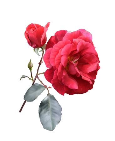red rose: Digital Painting Of Red Rose Isolated On White Background