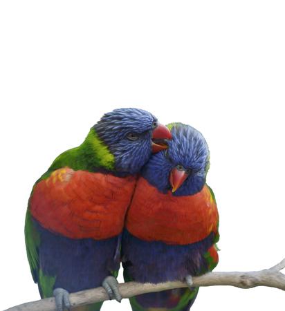 two parrots: Digital Painting Of Rainbow Lorikeet Parrots