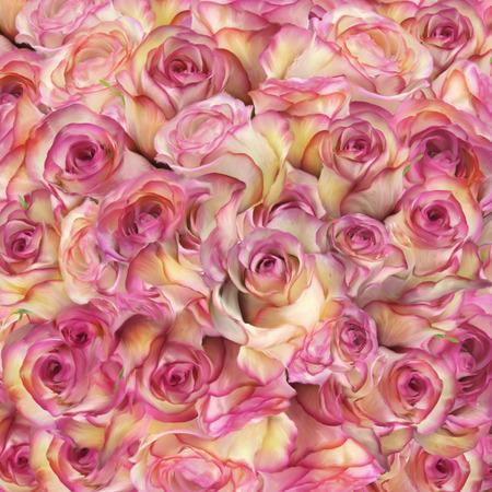 Rose Bloemen Close-up Voor Achtergrond