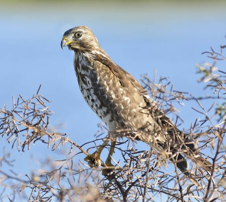 sparrowhawk: Sparrowhawk Perching On A Bush Branch Stock Photo