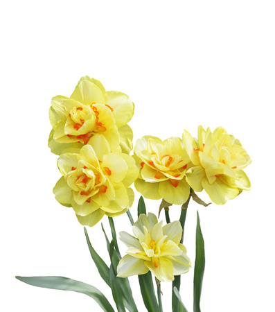 daffodil: Digital Painting Of Yellow Daffodil Flowers Isolated On White Background