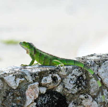 basking: Green Iguana Basking On The Stone Wall