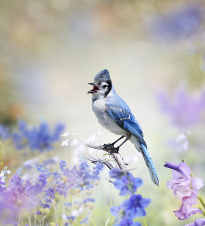blue jay bird: Blue Jay Perched In The Garden