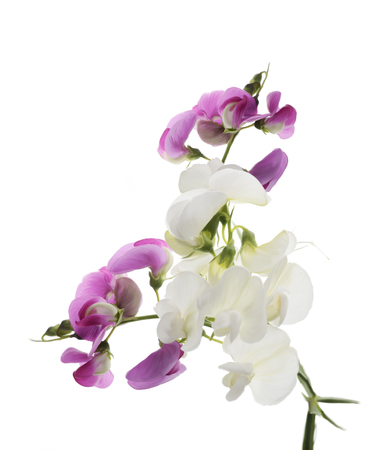 sweet pea: Digital Painting Of  Sweet Pea Flowers Stock Photo