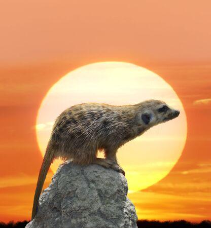 meerkat: Digital Painting Of Meerkat Against  Sunset