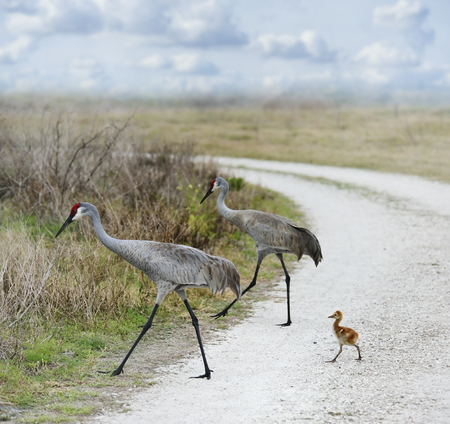 Sandhill Cranes Family Crossing A Country Road