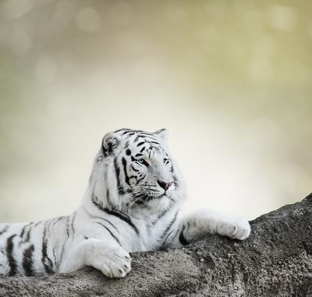 Tigre blanco descansando sobre una roca Foto de archivo - 37971290