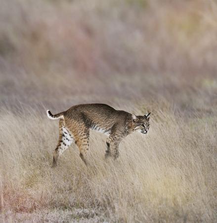 lince rojo: Un joven Andar Bobcat en la hierba
