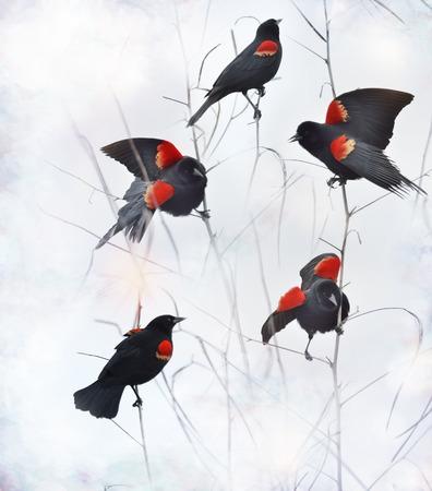 blackbird: Red Winged Blackbirds Sitting On Branches