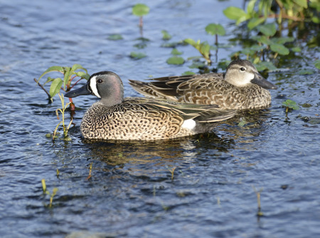 a pair: Pair Of Blue-Winged Teal Ducks