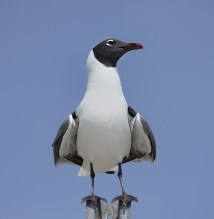 waterbird: Franklins Gull Perched Against A Blue Sky Stock Photo