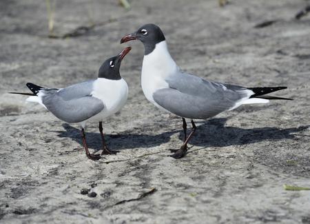 waterbird: Pair Of Franklins Gulls On A Gulf Coast Stock Photo
