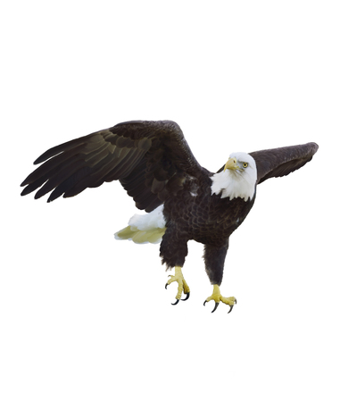 eagle feather eagle claw: Digital Painting Of American Bald Eagle Stock Photo