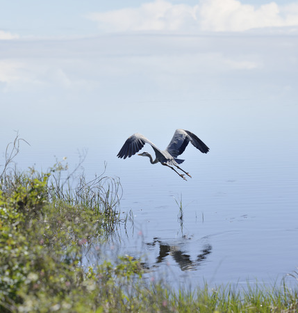 blue heron: Great Blue Heron In Florida Wetlands Stock Photo