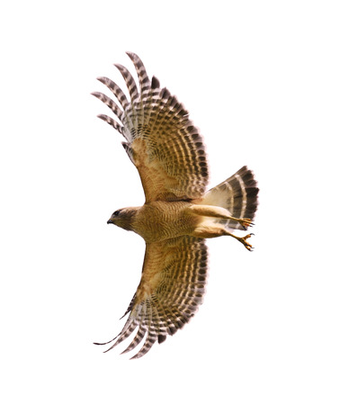 shouldered: Red Shouldered Hawk In Flight,Isolated On White Stock Photo