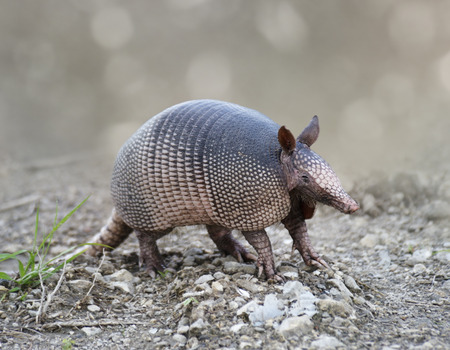 Nine-banded Armadillo In Florida Wetlands Stok Fotoğraf