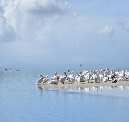 florida beach: White Pelicans In Florida Beach