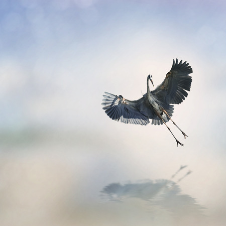 waterbird: Great Blue Heron In Flight