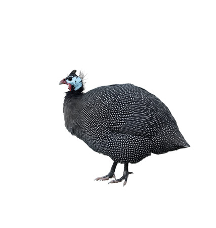 guinea: Helmeted Guinea Fowl Isolated On White Background Stock Photo