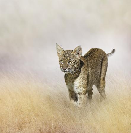 lince rojo: Caminar Bobcat en la hierba