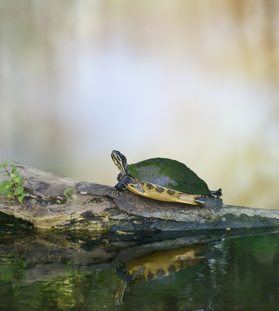 cooter: Florida Cooter Turtle On A Log Stock Photo