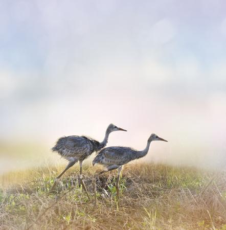sandhill crane: Sandhill Crane Chicks Walking At Sunrise