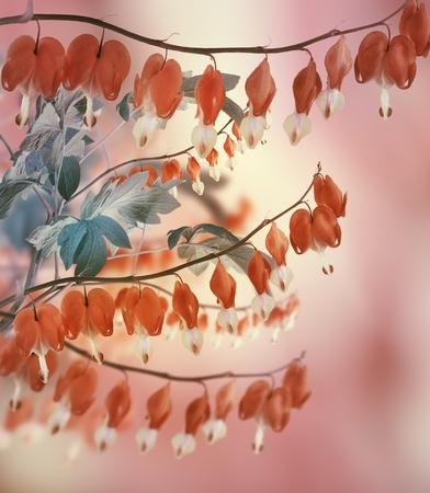 hemorragias: Bleeding Heart Flowers, Close Up Foto de archivo