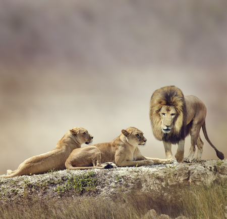 lions rock: Family of Lions On A Rock