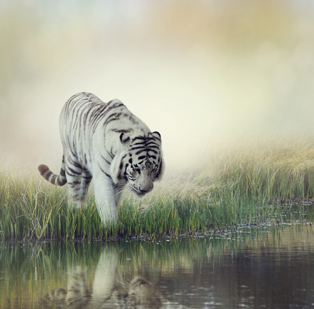 ponds: White Tiger Near A Pond