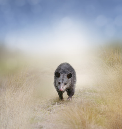 opossum: Young Opossum Walking In A Field Stock Photo
