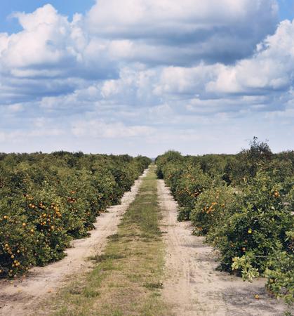 florida citrus: Orange Trees With Fruits In Florida Plantation