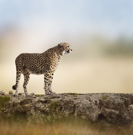 Cheetah (Acinonyx jubatus) Stands  On Top of a Rock 版權商用圖片