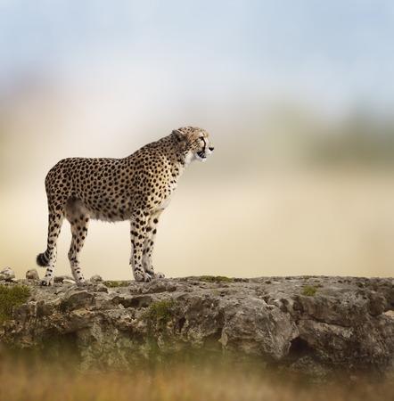 guepardo: Guepardo (Acinonyx jubatus) encuentra en la cima de una roca